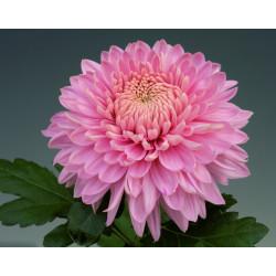 Chrysanten Marielle Pink kleinbloemig