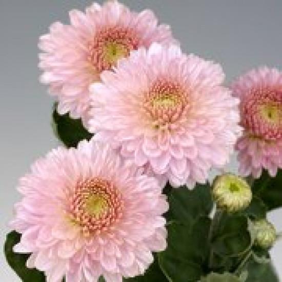Chrysanten Pompon Pink kleinbloemig