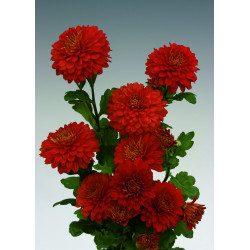 Chrysanten Wendy Red kleinbloemig