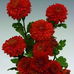 Chrysanten Wendy Red kleinbloemig