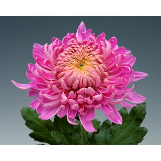 Chrysanten Holiday Pink grootbloemig