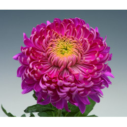 Chrysanten Holiday Purple grootbloemig