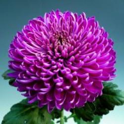 Chrysanten Regal Mist Purple grootbloemig