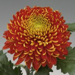 Chrysanten Tom Pearce grootbloemig