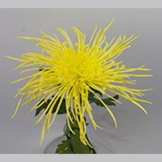 Chrysanten Maxim Yellow spinchrysant