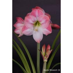 Amaryllis mt. 36-38 Apple Blossom