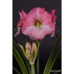 Amaryllis mt. 36-38 Rose