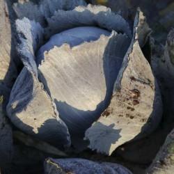 Rode Kool Langedijker bewaar 2 (Biologisch)