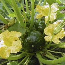 Pompoenen Zapallito (Biologisch)