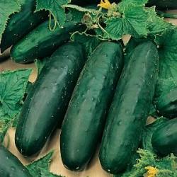 Komkommer Marketmore (Biologisch)